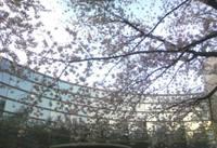 Sakura090408a