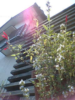 ハーブ花盛りです