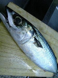 五島列島の旬鯖(ときさば)