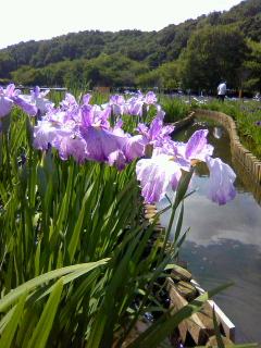 北山公園の菖蒲祭り