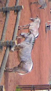 多摩動物園なう。珍しいグレービーシマウマ