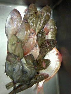 村上から漁師直送便!!人気のケムシカジカ、ミシマオコゼを始め、地魚いろいろです♪