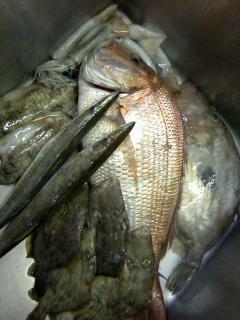 宇和島からお魚到着!立派な真鯛にカマス、カワハギ、マトウダイ!