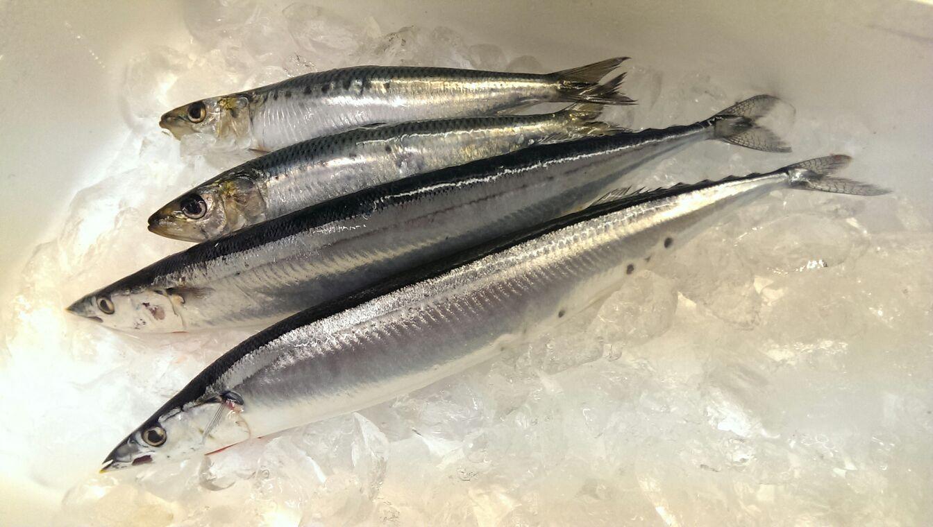 初物の棒受漁の秋刀魚、入荷です!