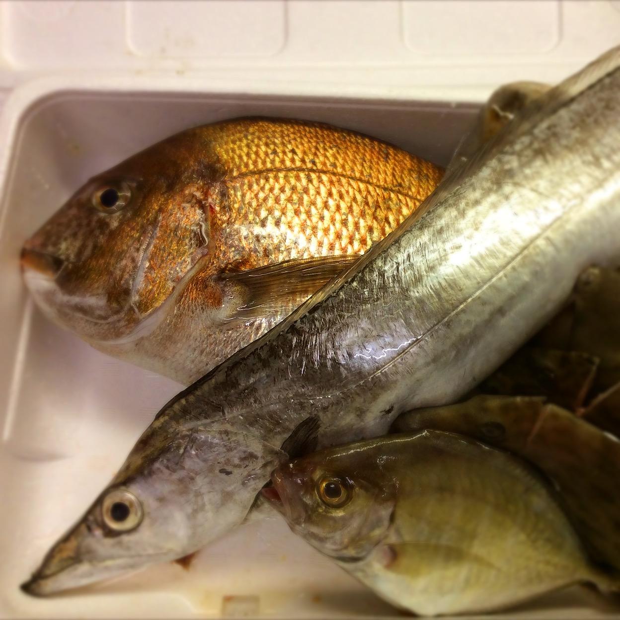 宇和島から極上の真鯛に太刀魚‼