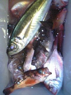 ハナダイ釣り