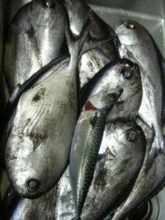 シマガツオ大漁です